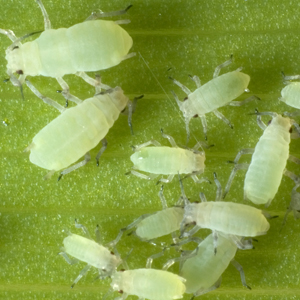 Aphids_300x300